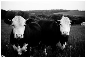 Two Moos by MrArtsy