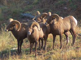 A gang of rams by greenunderground