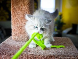 playful mink ragdoll kitten by venomxbaby