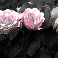 Romantic Roses by horstdesign
