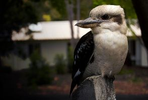 Mr. Kookaburra by Shonk-ness