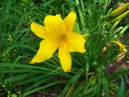 Yellow Daylily by celticpath