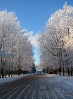 Frosted trees by sheska