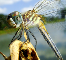 Textures of a Blue Dasher by Fail-Avenger