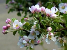 Apple Blossoms 2 by Lupsiberg
