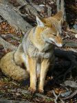 Grey Fox by imperiom