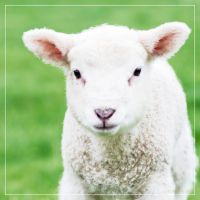Lambs 07 by 0-Photocyte