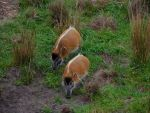 Red African Bush Pigs by ToaDJacara