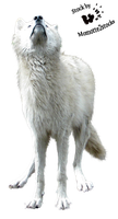 Cut-out stock PNG 14 - waiting white wolf by Momotte2stocks