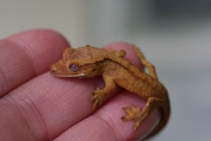 Teeny Tiny Crestie by Dellessanna