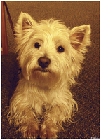 West Highland Terrier by RanWal