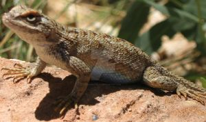 Lizard with cool eyes in Utah, 2012 by MarbleTilly