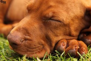 Sleeping dog by VeruPhotos