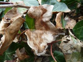 dying leaf texture 6 by density-stock