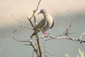 White-winged Dove 2 by PatGoltz