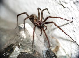 Tegenaria atrica - Full grown female by TheFunnySpider
