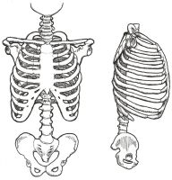 Drawing of the rib cage by milzs