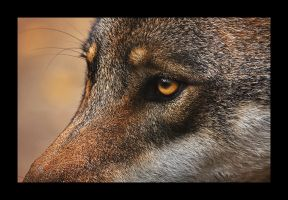 ...Grey wolf2... by canismaioris