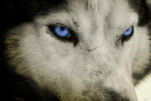 Intense Wolf by resresres