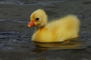 The Fluffy Yellow Gosling by I-Heart-Photos