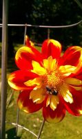 Orange Dahlia with bee by LastPaige