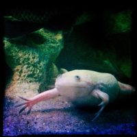 African Clawed Frog by elizabethunseelie