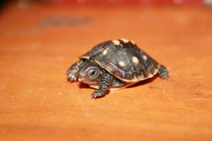 box turtle baby by Ample-Mouse