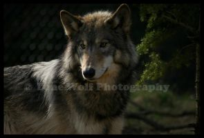 Wolvish Perfection 1 by LoneWolfPhotography