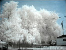 Infrared Maple and Willows by BioToxxx