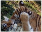 Tiger Cub Kisses by HeWhoWalksWithTigers