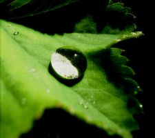 Waterdrop on A Lady's Mantle by ragnaice