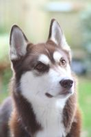 Indie the Husky by Mr-Inconspicuous