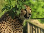 Cheetah 14 by animalphotos