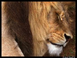 The lion sleeps tonight by TVD-Photography