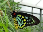 Rare Australian Butterfly by Blondefishy