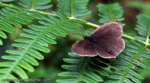 Brown Butterfly by Gamble55