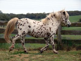 English Spotted Pony Stock by engaged-vacancy