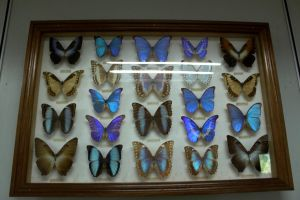 Morpho Butterflies by VinVagia