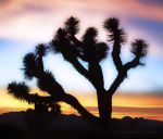 Joshua Tree Sunset by creativemikey