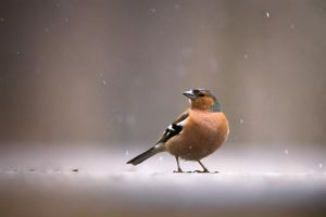 Chaffinch by sampok