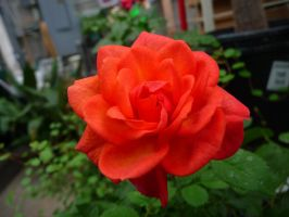 Red Rose Stock by Melyssah6-Stock