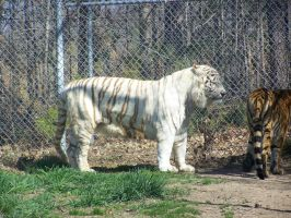 White Bengal Tiger 1 by NyanaeveStock