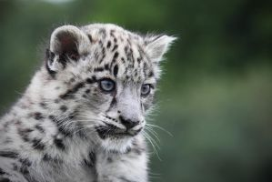 Snow Leopard Cub by SnowPoring