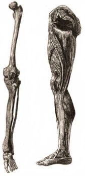 Leg Anatomy by DellaNova