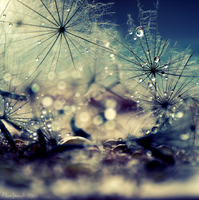Drops meet Dandelions by Alinschki