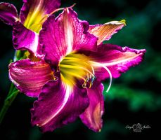Purple day lily by StephGabler