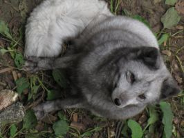 Arctic Fox 06 by animalphotos