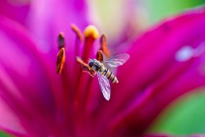 Hoverfly on flower by StainXY