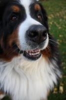 Bernese 2 by g0thik-angel