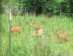 Fenced In Fawns 1a by Windthin